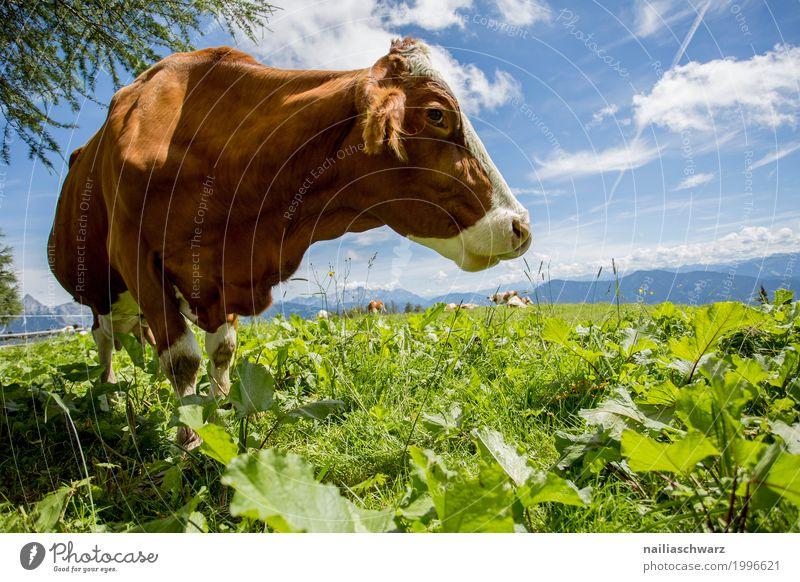 glückliche Kuh auf der Almwiese Sommer Landwirtschaft Forstwirtschaft Natur Landschaft Himmel Schönes Wetter Gras Alpen Tier Nutztier 1 Herde beobachten Fressen