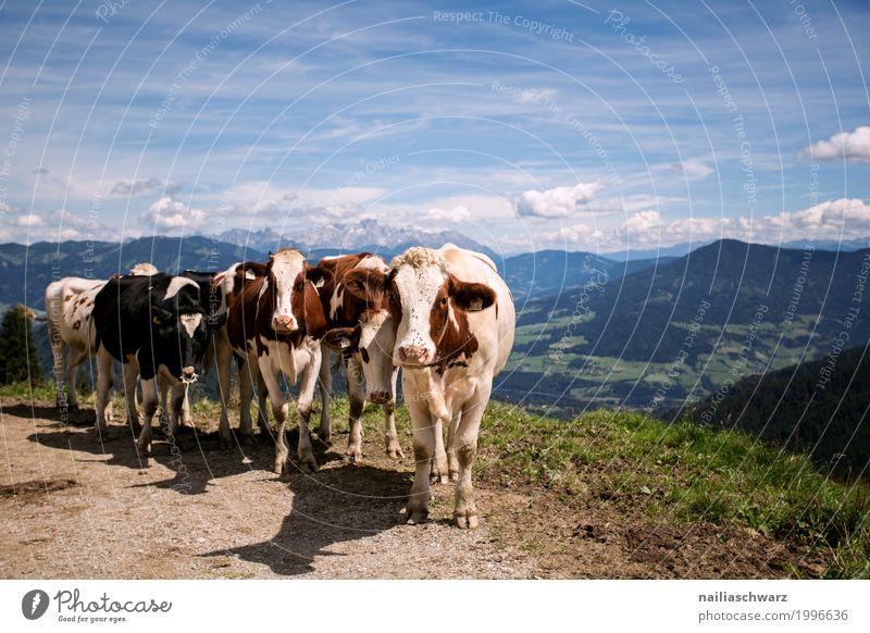 Kühe in Alpen Sommer Umwelt Natur Landschaft Frühling Hügel Berge u. Gebirge Tier Nutztier Kuh Tiergruppe Herde Tierfamilie Herd & Backofen beobachten entdecken