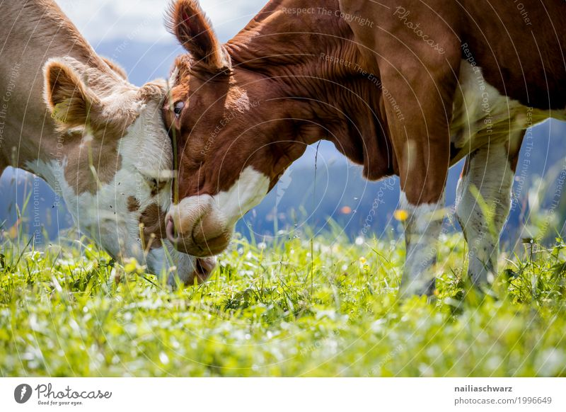 Zärtlichkeit Natur Sommer Landschaft Erholung Tier Berge u. Gebirge Wärme Liebe Gefühle Wiese Gras Glück Zusammensein Feld Idylle Europa