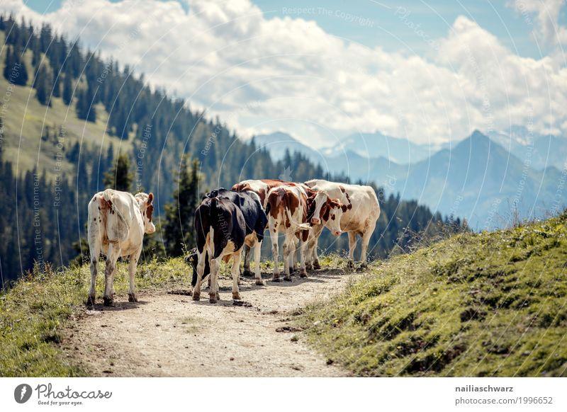 Kühe in Alpen Sommer Landwirtschaft Forstwirtschaft Natur Landschaft Schönes Wetter Berge u. Gebirge Tier Nutztier Kuh Tiergruppe Herde Herd & Backofen Fressen