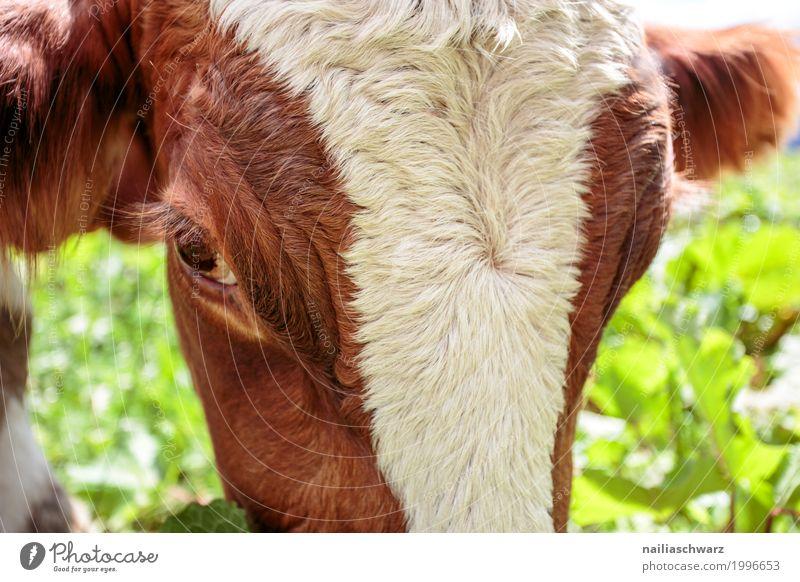 Kuh Sommer grün weiß Tier Gesundheit natürlich Gras Glück braun Zufriedenheit Idylle Europa Fröhlichkeit niedlich beobachten Landwirtschaft