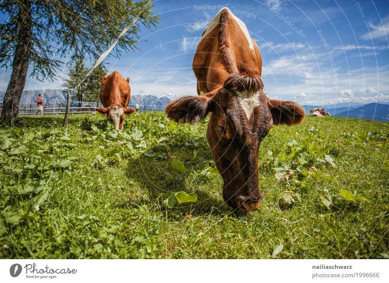 Kühe in Alpen Sommer Landwirtschaft Forstwirtschaft Umwelt Natur Landschaft Feld Hügel Berge u. Gebirge Tier Nutztier Kuh Herde Herd & Backofen Erholung Fressen