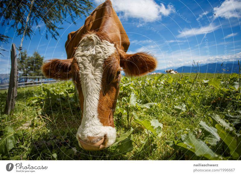 glückliche Kuh auf der Almwiese Sommer Bauernhof Landwirt Landwirtschaft Forstwirtschaft Umwelt Natur Landschaft Himmel Frühling Gras Wiese Alpen