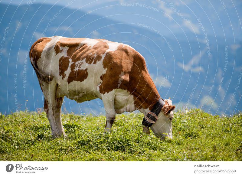 glückliche Kuh in Alpen Sommer Landwirtschaft Forstwirtschaft Umwelt Natur Landschaft Frühling Schönes Wetter Gras Wiese Feld Berge u. Gebirge Tier Haustier