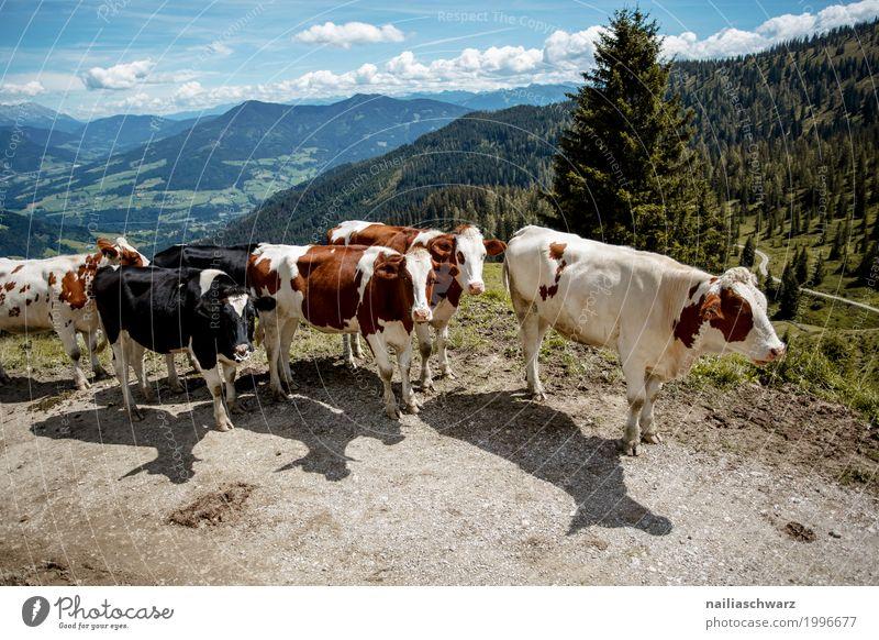 Kühe in Alpen Sommer schön Tier Berge u. Gebirge Gesundheit natürlich Glück Zusammensein Zufriedenheit wandern Feld Kraft Idylle Europa laufen Tiergruppe