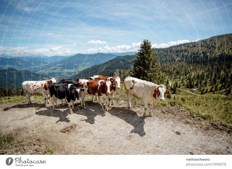 Kuhherde in Alpen Himmel Natur Sommer Landschaft Tier Berge u. Gebirge Umwelt Frühling Wiese natürlich Glück Idylle Europa Fröhlichkeit laufen Tiergruppe
