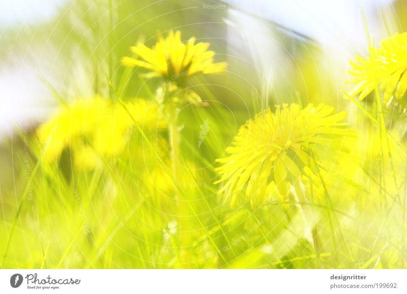 unerwünscht schön Natur Blume grün Sommer gelb Leben Wiese Blüte Gras Frühling Freiheit Wärme hell Wetter Wachstum wild