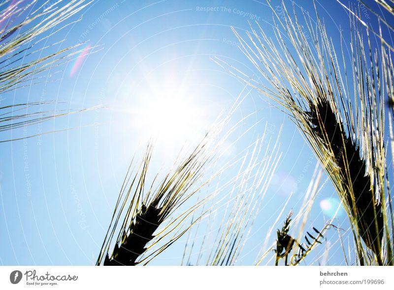 wunschvorstellung Natur Pflanze Sommer Herbst Frühling Wärme Landschaft Kraft Feld Umwelt Wachstum Getreide Landwirtschaft Schönes Wetter Kornfeld Klimawandel