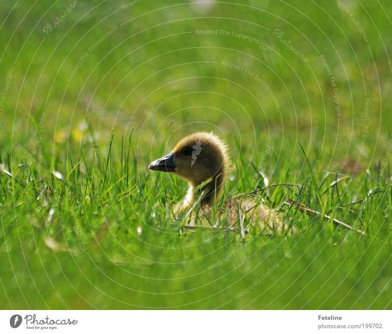 Siesta Umwelt Natur Landschaft Pflanze Tier Frühling Klima Wetter Schönes Wetter Wärme Gras Park Wiese Seeufer Vogel Tierjunges frei hell weich liegen ruhen