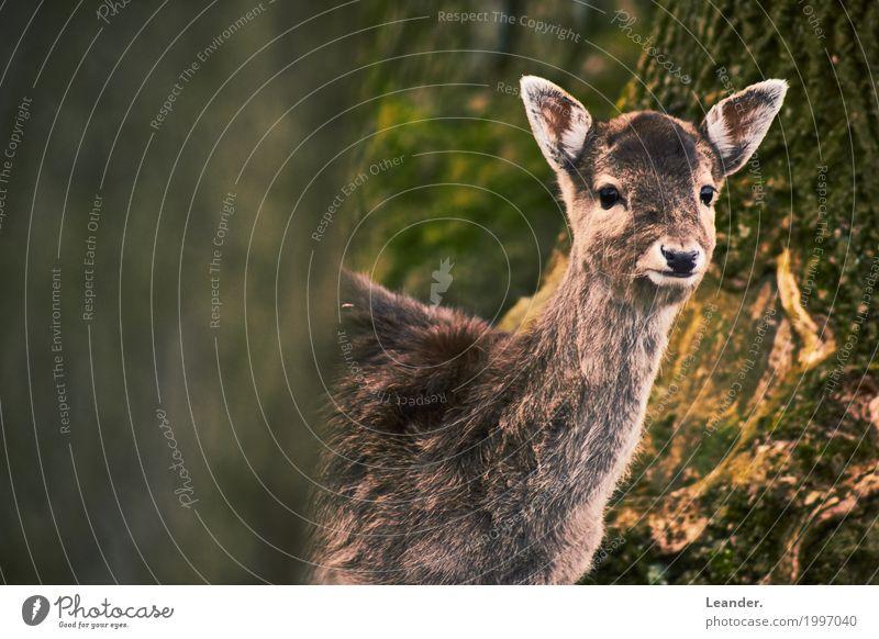 Bambi guckt Umwelt Landschaft Rehkitz 1 Tier Freundlichkeit braun gelb Neugier Wald Natur Gedeckte Farben Außenaufnahme Textfreiraum links Textfreiraum rechts