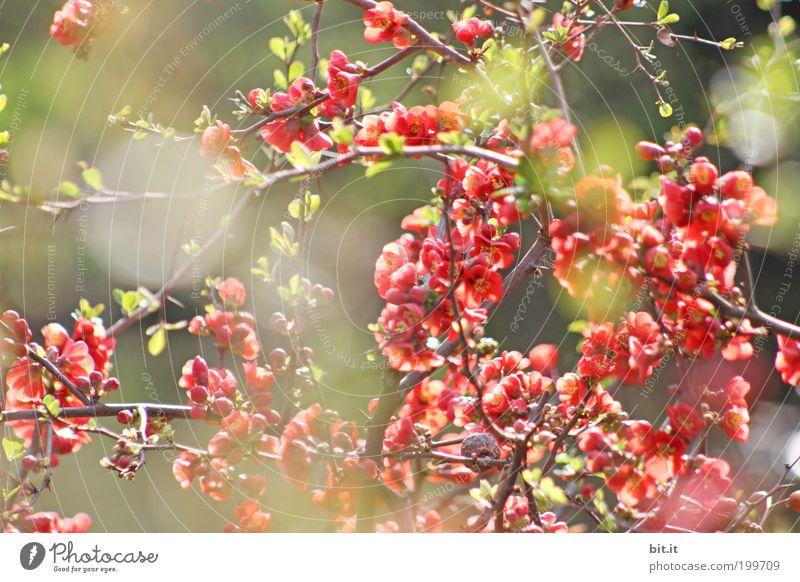 Lichtspiel bei Luise [LUsertreffen 04|10] Pflanze Sommer Sonne Freude Frühling Blüte Feste & Feiern Garten Park leuchten Sträucher Lebensfreude Blühend Kitsch Blütenknospen exotisch