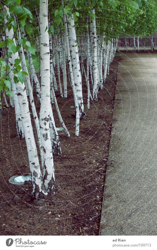 birkenstock Natur Frühling Pflanze Baum Blatt Birkenwald Birkenallee Park Wald Menschenleer Wege & Pfade Glück Frühlingsgefühle Warmherzigkeit Umweltschutz