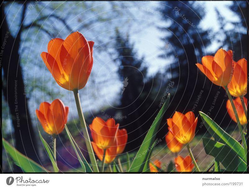 Tulpenpower 2010 Natur grün schön Baum Pflanze Umwelt Garten Glück Frühling Stil orange elegant ästhetisch leuchten Lifestyle Schönes Wetter