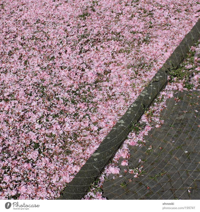...Blossoms Umwelt Natur Frühling Blüte Kirschblüten Wege & Pfade Bürgersteig Blühend Glück Lebensfreude Frühlingsgefühle rosa Farbfoto mehrfarbig Außenaufnahme