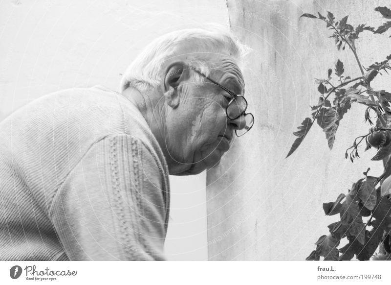 Tomate Mensch maskulin Männlicher Senior Mann 60 und älter Sommer Nutzpflanze Topfpflanze Mauer Wand Blick Wachstum Freude Vorfreude Sympathie reif Garten