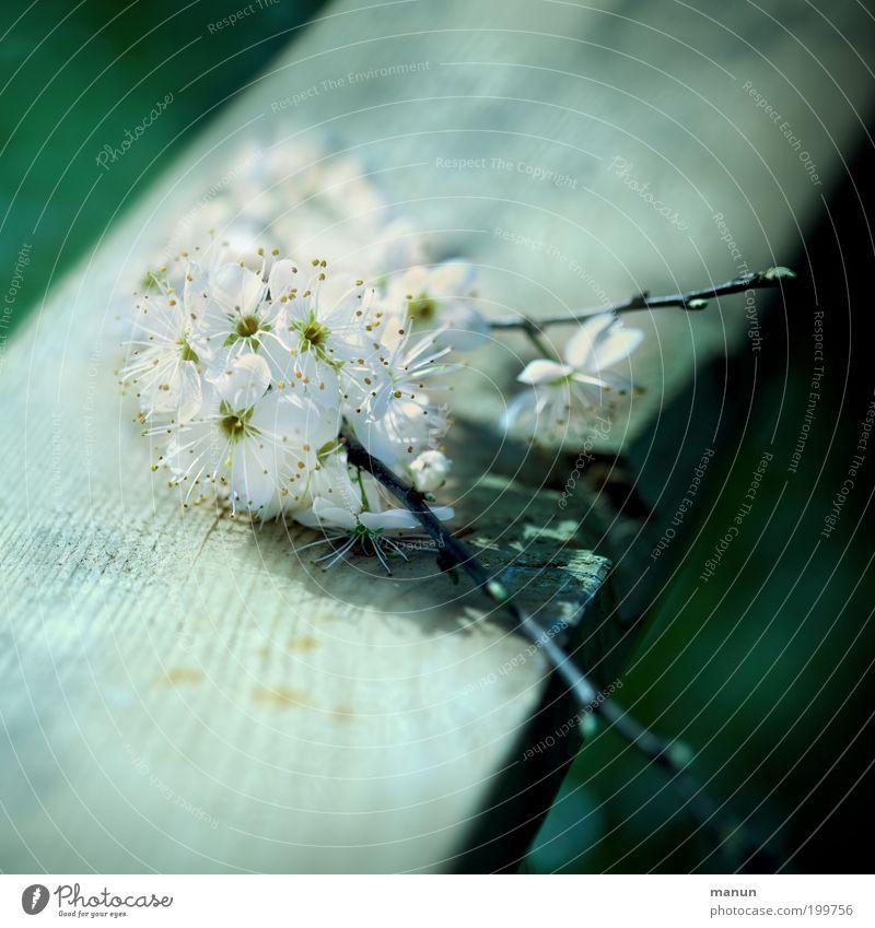 Kirschholz Natur grün weiß Blüte Frühling Glück außergewöhnlich Garten Feste & Feiern hell frisch ästhetisch fantastisch Blühend Lebensfreude Romantik
