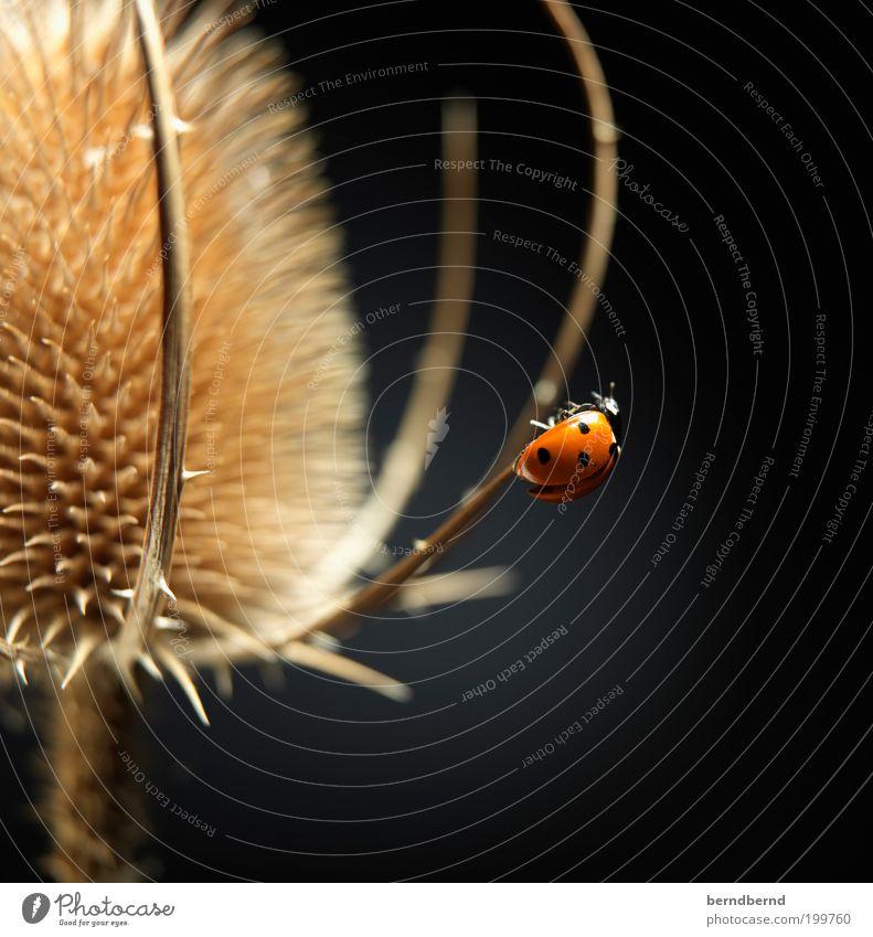Marienkäfer Pflanze Blume Wildpflanze Tier Käfer Flügel 1 Bewegung krabbeln ästhetisch Neugier niedlich schön Spitze stachelig trocken braun rot schwarz