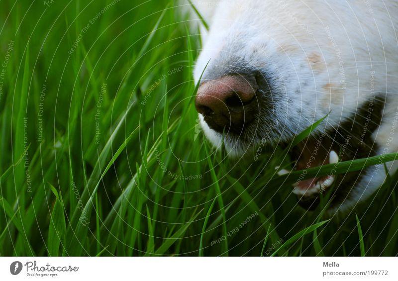 Grasen Natur weiß grün Tier Wiese Gras Hund Feld Nase Umwelt Gebiss außergewöhnlich Appetit & Hunger genießen Fressen beißen