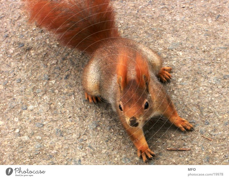 Eichhörnchen süß niedlich rot Fell Bremsung Possierlich