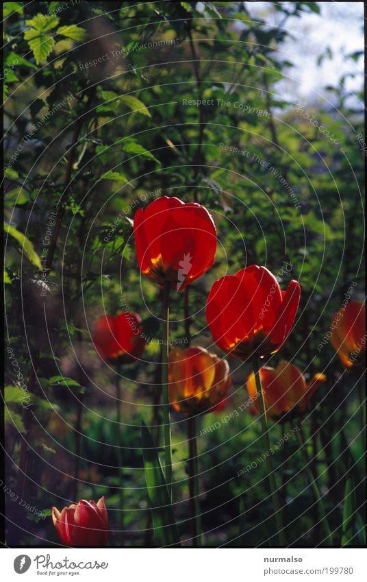 Tulpenpower 2 2010 Natur Blume grün Pflanze rot Freude Garten Glück Park Kunst glänzend elegant Umwelt Wachstum Klima entdecken