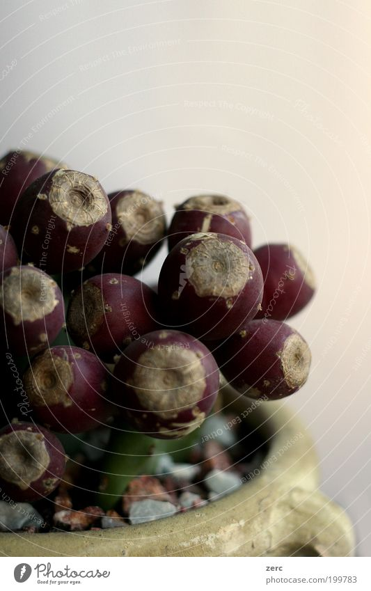 Opuntia ficus indica Pflanze Stil Kaktus Ton Topfpflanze Terrakotta