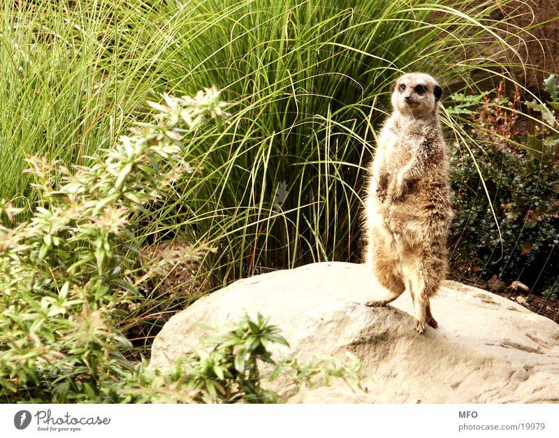 Erdmännchen süß niedlich Fell Plüsch Zoo Blick Spähen Possierlich