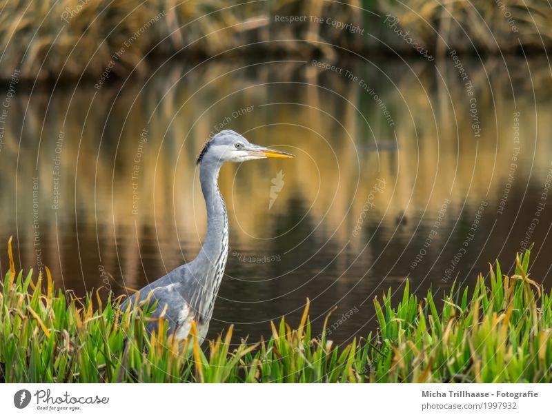Graureiher im Schilf am Seeufer Natur Pflanze grün Wasser weiß Sonne Tier Umwelt gelb natürlich Gras grau Vogel orange leuchten