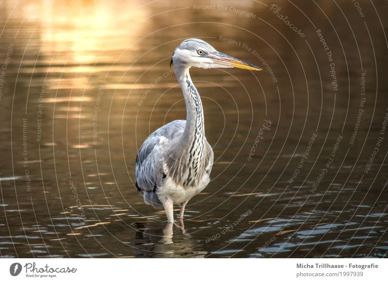 Reiher im See in der Abendsonne Natur Wasser weiß Sonne Tier ruhig schwarz Umwelt gelb natürlich grau Vogel orange leuchten Wildtier