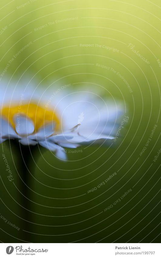 blurry daisy Natur Gänseblümchen weiß gelb grün Unschärfe traumhaft schön bezaubernd Gras Garten Blütenblatt Frühling Makroaufnahme Stengel Wiese Umwelt Pflanze