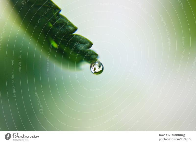 Fresh pearl Leben harmonisch ruhig Duft Natur Pflanze Wassertropfen Frühling Sommer Blatt grün silber weiß nass Kugel Tau Farbfoto Außenaufnahme Nahaufnahme
