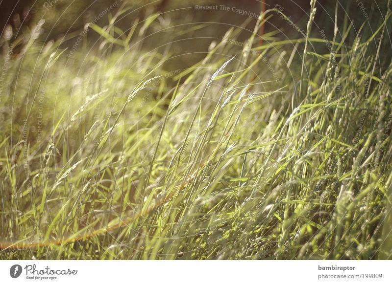 Green Grass Umwelt Natur Pflanze Wiese grün Wachstum Blendenfleck Wildpflanze unberührt Naturwuchs Farbfoto Außenaufnahme Tag Licht Reflexion & Spiegelung
