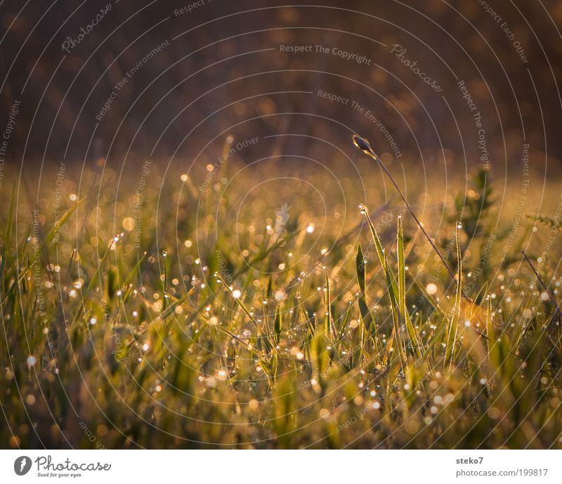 Glitzerhalm grün Wiese Gras Frühling Landschaft braun Wassertropfen frisch Wachstum leuchten Tau aufwachen Neuanfang Licht