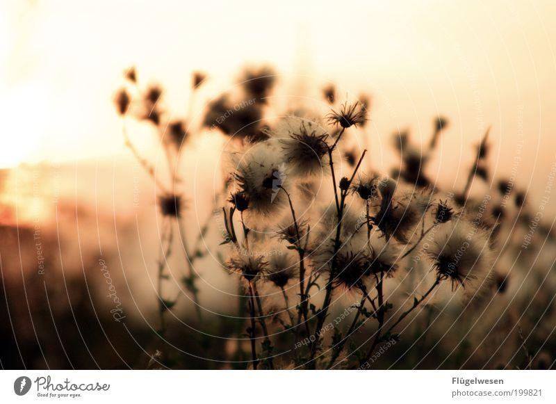 The summer is magic, is magic oh oh oh Umwelt Natur Sonne Sonnenaufgang Sonnenuntergang Klima Pflanze Gras Sträucher Wiese Feld leuchten dunkel Warmherzigkeit