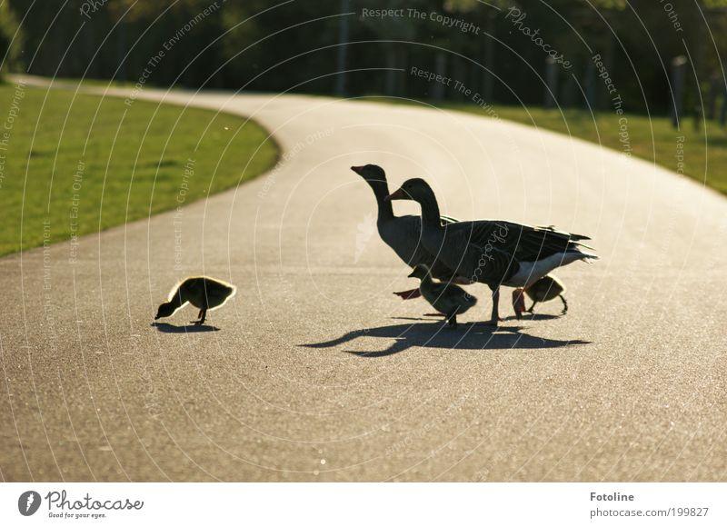 Sonntagsspaziergang Umwelt Natur Landschaft Pflanze Tier Urelemente Erde Frühling Wärme Gras Park Wiese Wildtier Vogel Tierjunges Tierfamilie hell weich Gans
