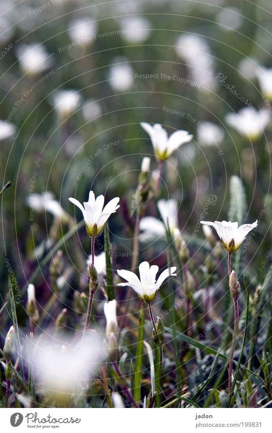 immer noch frühling Leben Duft Natur Pflanze Frühling Blume Gras Blüte Wiese Erholung schön grün weiß bescheiden Wachstum Blumenwiese Außenaufnahme