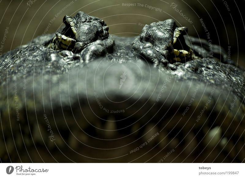 croco Tier Auge Angst Wildtier gefährlich bedrohlich beobachten Gebiss Zoo Wut Todesangst Stress Urwald exotisch Respekt Nervosität