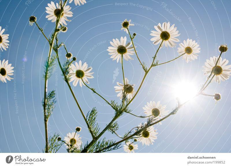 blauweißer Wunschtraum Pflanze Wolkenloser Himmel Sonnenlicht Sommer Schönes Wetter Blume Blüte Nutzpflanze Duft hell Gesundheit Kamille Kamillenblüten