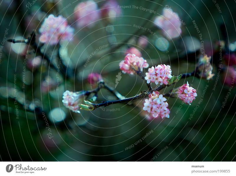 Duftschneeball Natur Pflanze schön grün Baum Winter Frühling Blüte Garten rosa elegant frisch Sträucher Blühend Romantik Zweig