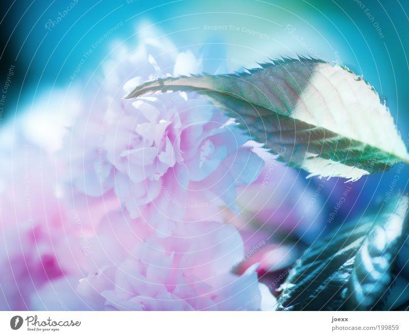 Aufgeblüht Natur schön grün blau Pflanze Blatt Blüte Frühling rosa zart Detailaufnahme Baum Zierkirsche Poesiealbum