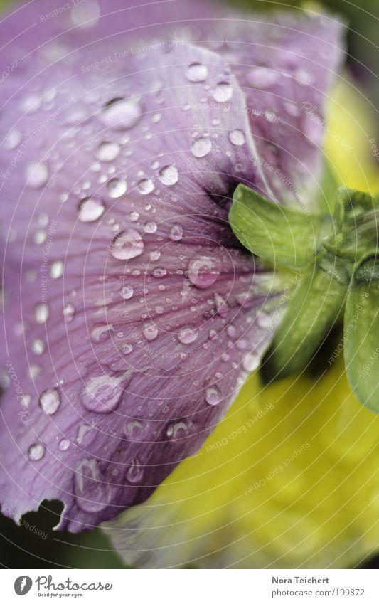 wash your worries away ... Umwelt Natur Pflanze Frühling Sommer schlechtes Wetter Regen Blume Blüte Stiefmütterchen Garten Park Traurigkeit weinen ästhetisch