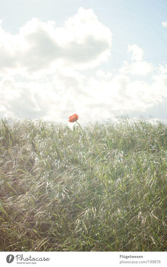 Manchmal wenn der Mann im Mohn Natur Himmel Sonne Blume Pflanze Sommer Ferien & Urlaub & Reisen Einsamkeit Wiese Gras Garten Park Feld Kunst Umwelt Sicherheit