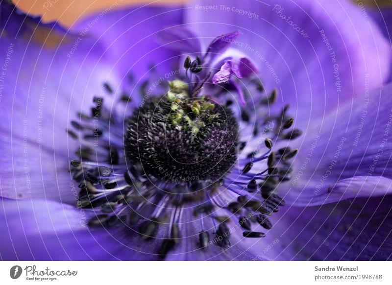 Anemone Natur Landschaft Pflanze Frühling Sommer Blume Garten Park fantastisch schön mehrfarbig violett Anemonen Mohnblüte Makroaufnahme Blütenblatt Farbfoto