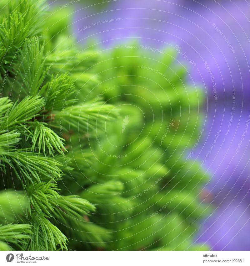 NaturFarben grün schön Baum Pflanze Frühling natürlich frisch Fröhlichkeit Wachstum leuchten violett Tanne Lebensfreude Tannennadel Frühlingsgefühle