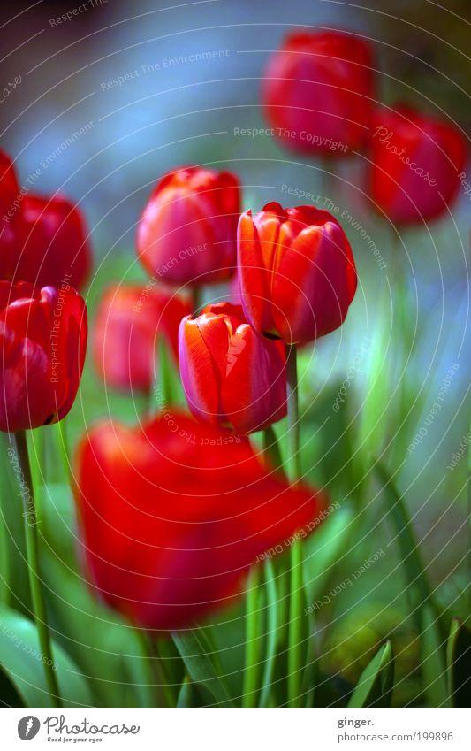 Frühlingssehnsucht Natur schön Pflanze rot Blume Frühling Blüte Wachstum mehrere zart dünn Tulpe Blütenblatt anschaulich Knollengewächse