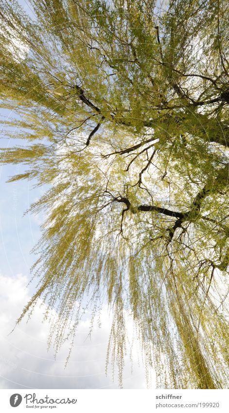 Lass fallen, Baby! Umwelt Natur Pflanze Schönes Wetter Baum lang wild grün Romantik Traurigkeit Sehnsucht ästhetisch Stress bizarr elegant Mittelpunkt