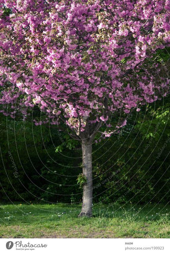 Pink Lady Garten Umwelt Natur Pflanze Frühling Schönes Wetter Baum Sträucher Blüte Park Wiese Blühend Wachstum ästhetisch authentisch Freundlichkeit schön grün