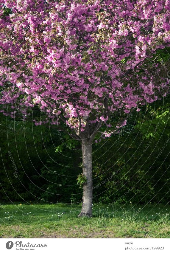 Pink Lady Natur grün schön Baum Pflanze Umwelt Wiese Frühling Garten Blüte Park rosa ästhetisch Wachstum authentisch Sträucher