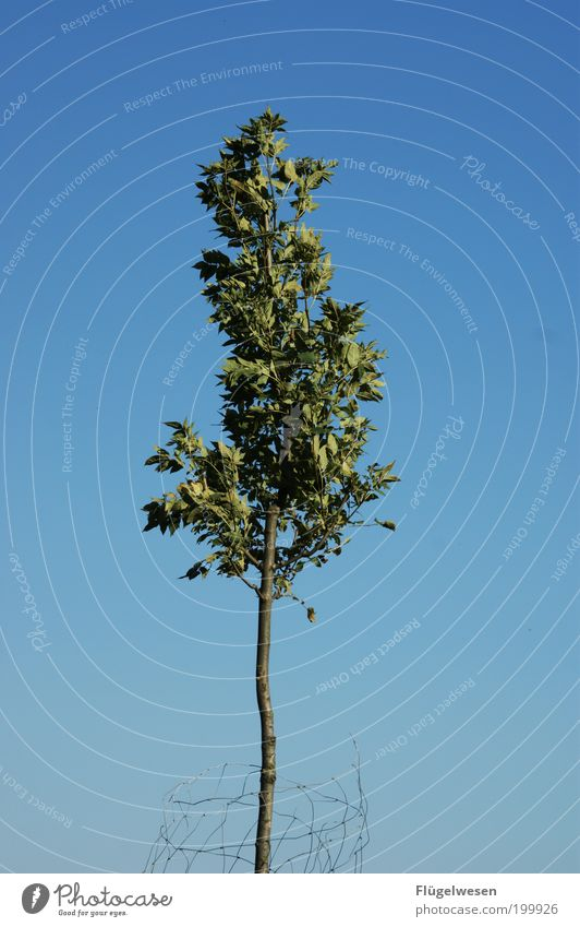 Der letzte Baum! Natur Himmel blau Sommer Blatt Einsamkeit Gefühle Landschaft Umwelt bedrohlich Klima Schutz Ast entdecken Zaun