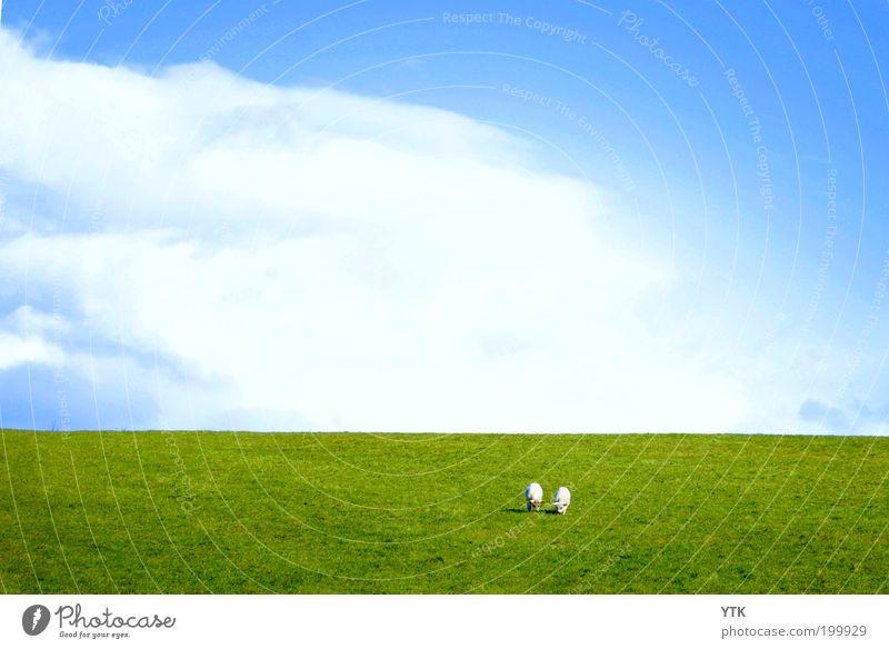 Irish Meadow Natur Pflanze Tier Himmel Wolken Frühling Sommer Schönes Wetter Gras Wiese Hügel Nutztier 2 Herde Tierpaar Fressen Wachstum frei frisch grün