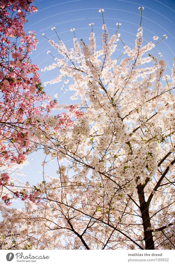 WHITE vs. PINK Natur schön weiß Baum Pflanze Blüte Frühling Wärme Landschaft rosa Umwelt Wachstum Ast Blühend Duft Schönes Wetter